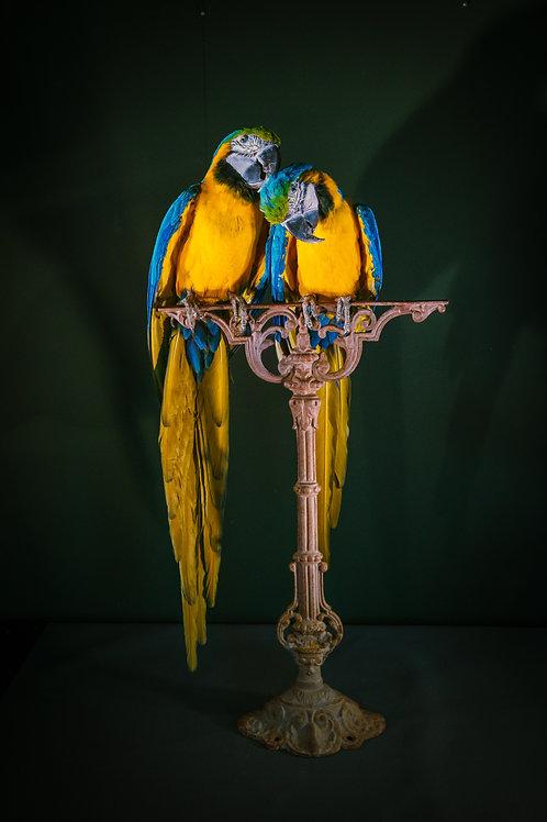 Ara ararauna (Couple mounted on antique cast iron stand)
