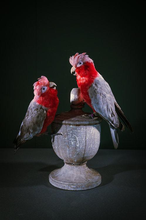 Eolophus Roseicapilla (mounted on an antique wooden ornament)