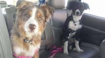 Teva & Ridge off to puppy class