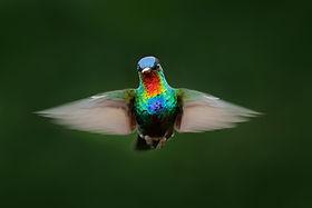 Fiery-throated Hummingbird, Panterpe ins