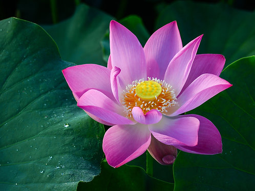 Lotus Flower: Modern Uses of an Ancient Herb