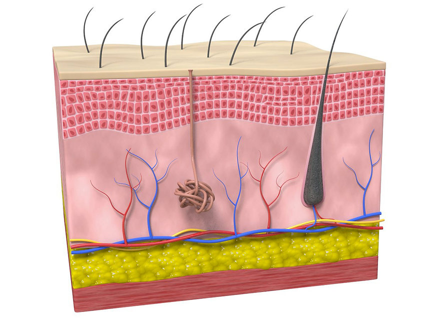 3D skin section