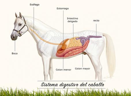¿Cómo funciona el sistema digestivo del caballo? Bienestar y nutrición.