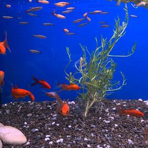 Small Goldfish & Minnows