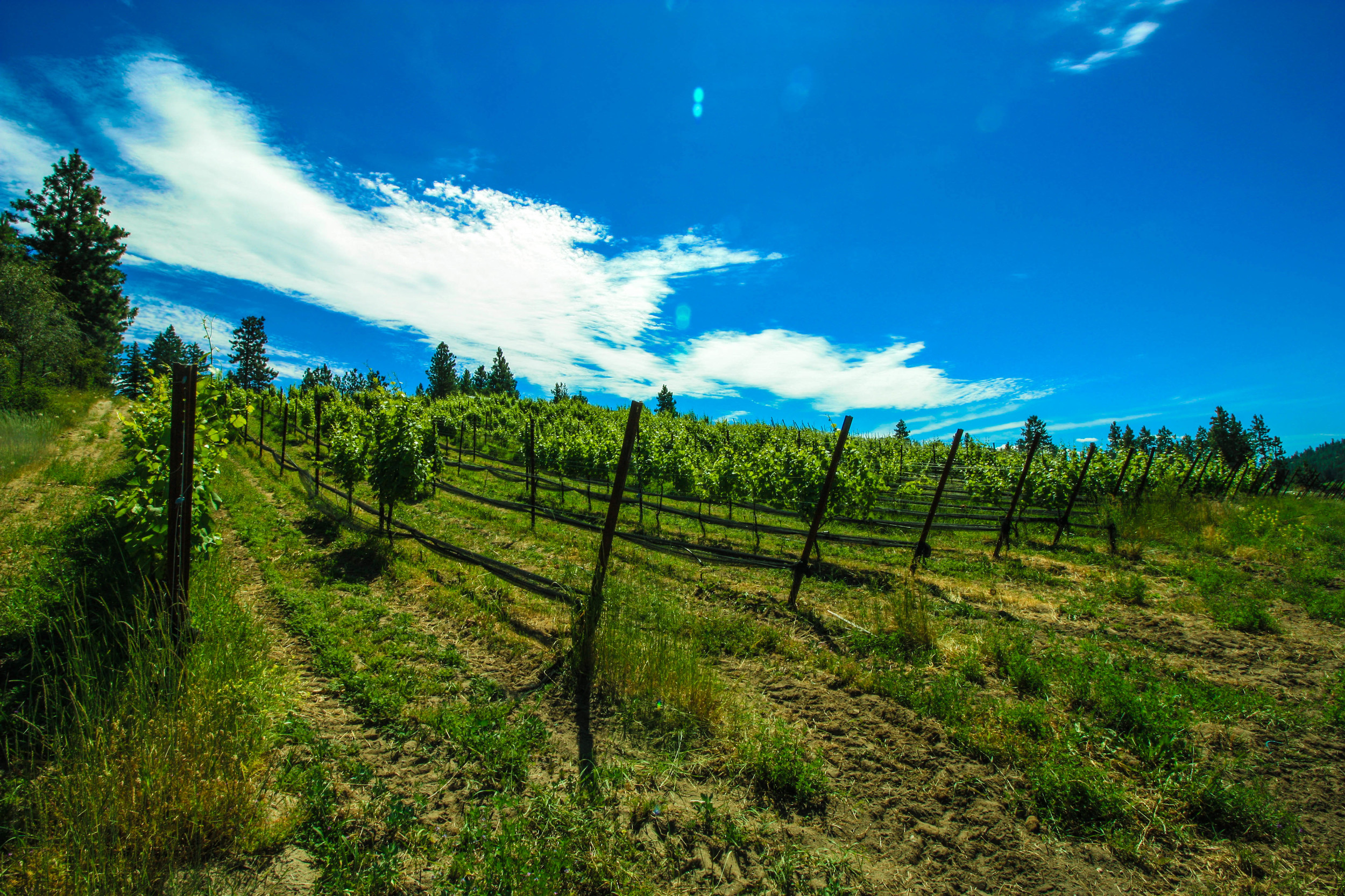 Our vineyard.