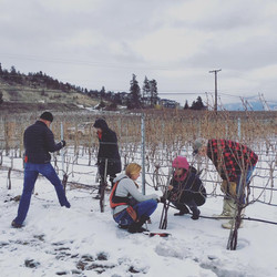 Taking care of the vines.