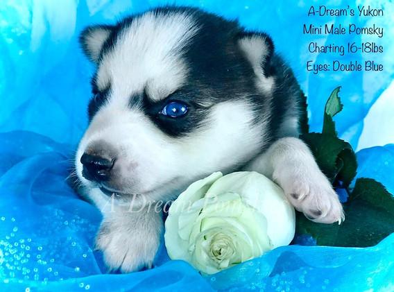 Pomsky Puppy with blue eyesfor sale