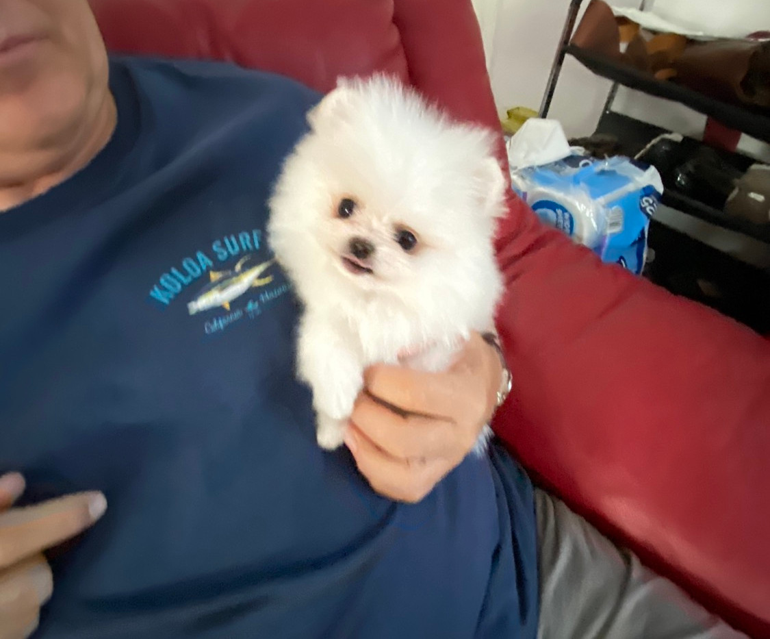 White Tcup puppy
