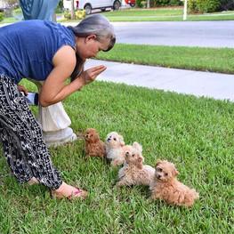 #pomloves #puppytraining #puppies #malti