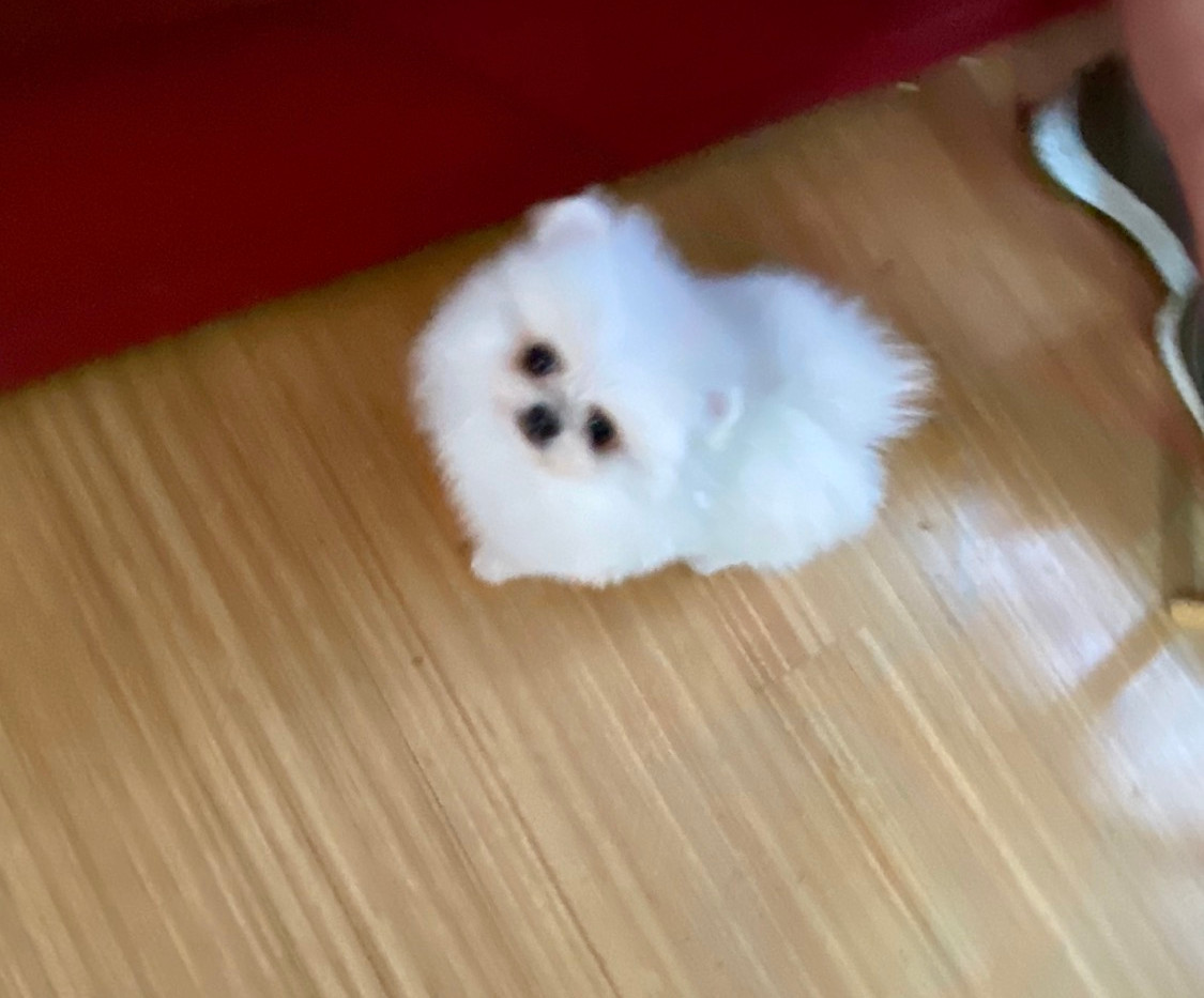 Tcup puppy