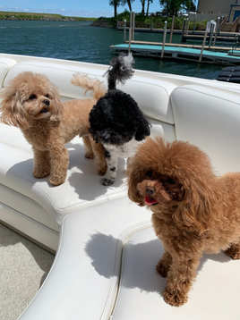 Our MaltiPoo puppies pic update by Sofia