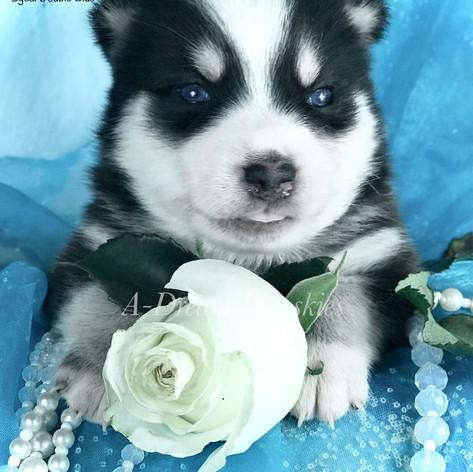 Pomsky puppy with blue eyes