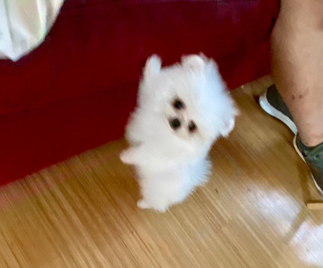 Tcup pom puppy