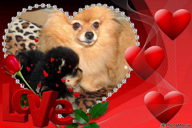 Puppy for sale, Pomeranian breeder, Biewer puppy for sale