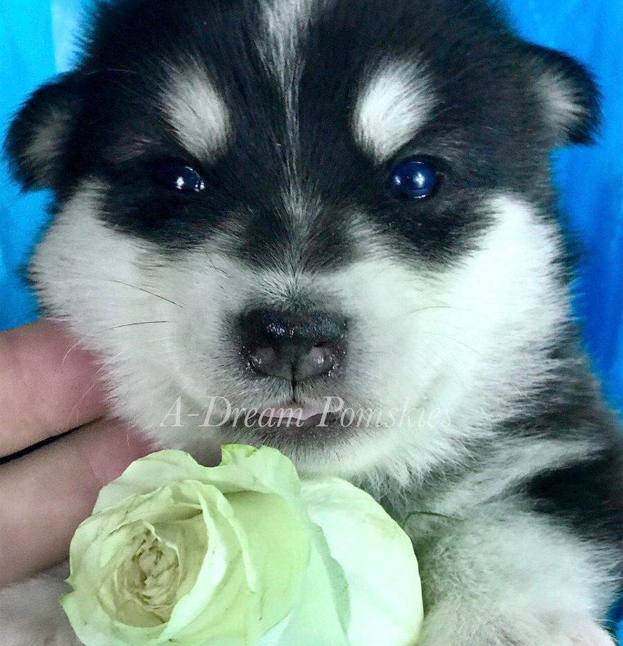 Pomsky Puppy for sale