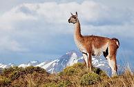 Guanaco at Patagonia Park_Linde Waidhofe