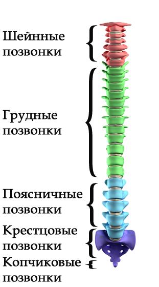 shema-pozvonochnik.png