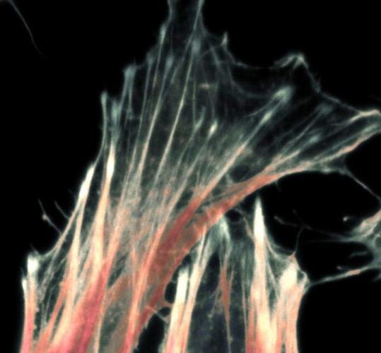 Cellular skeleton