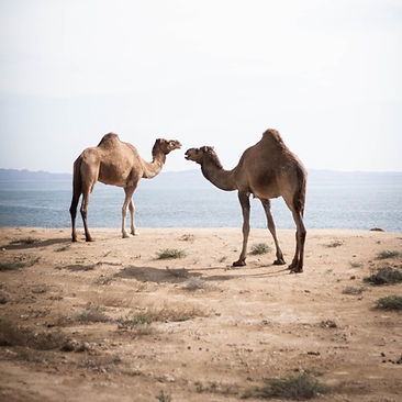 What Do Camels Store In Humps