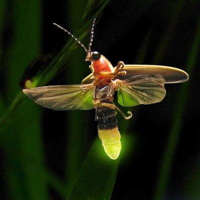 How Do Fireflies Glow