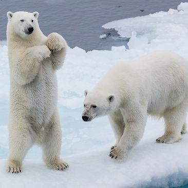 Is Polar Bear Fur White Or Transparent