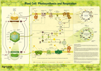 Photosynthesis_Respiration_Plant_Cell_Po