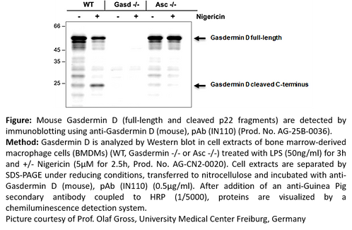 anti-Gasdermin D (mouse), pAb (IN110) 100 µg