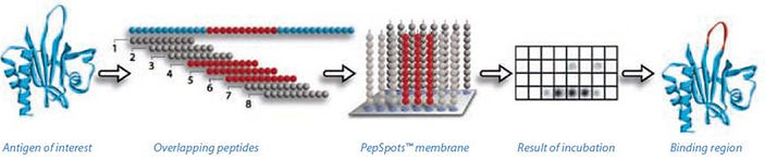 Peptide文庫構建.jpg