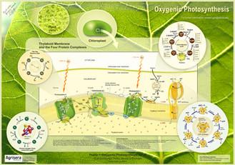Agrisera-Poster-1-Oxygenic-Photosynthesi