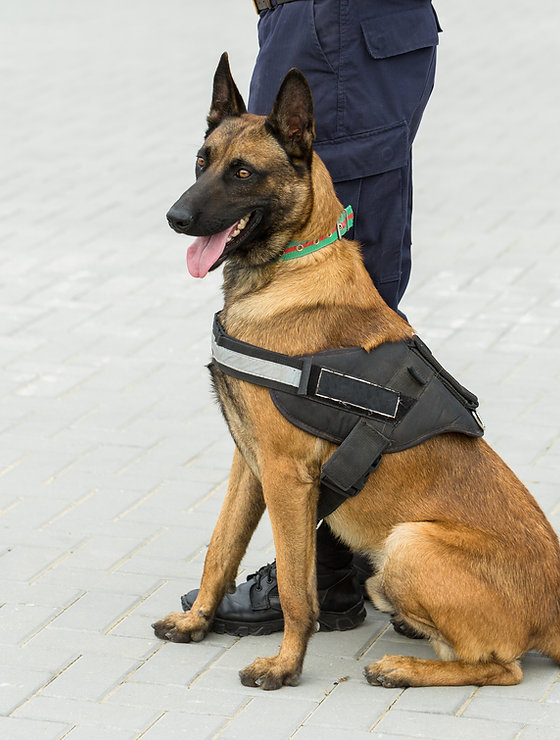 malinois-belgian-shepherd-guard-border-border-troops-demonstrate-dogs-ability (1).jpg