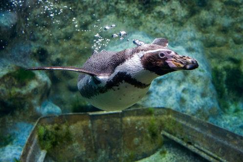 Humbolt penguin