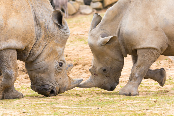 Southern White Rhinoceros (Ceratotherium simum simum)