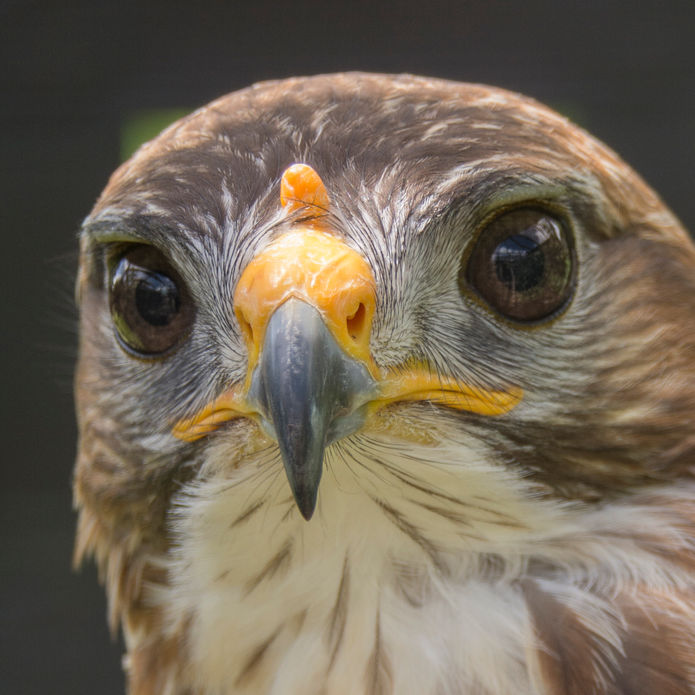 common buzzard.jpg