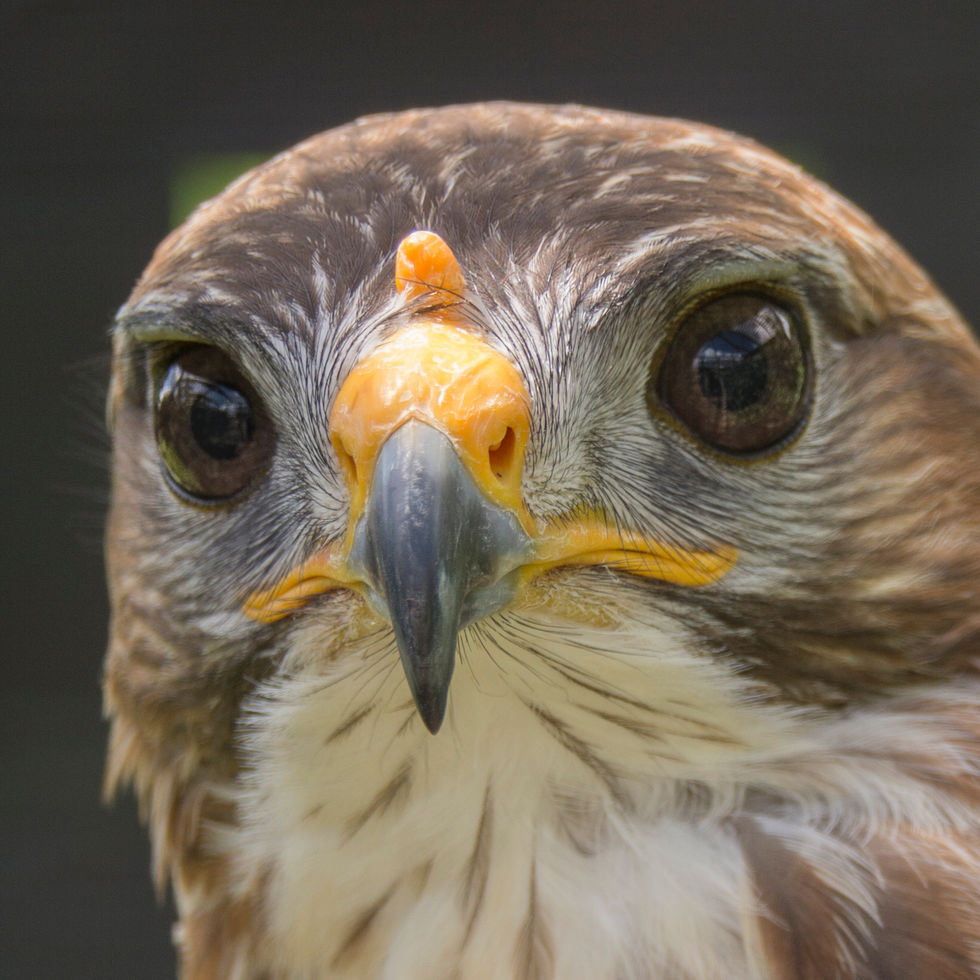 common buzzard.jpg