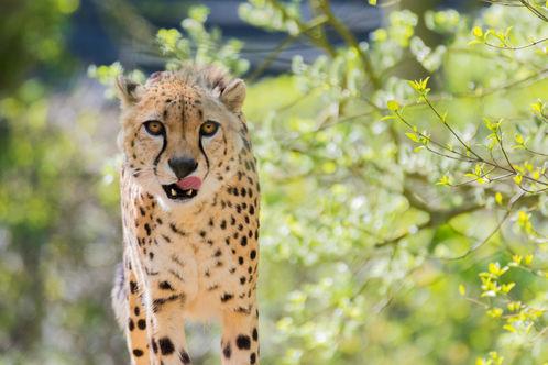 Cheetah-4481.jpg