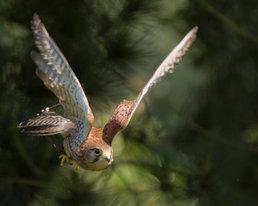 Female Kestrel