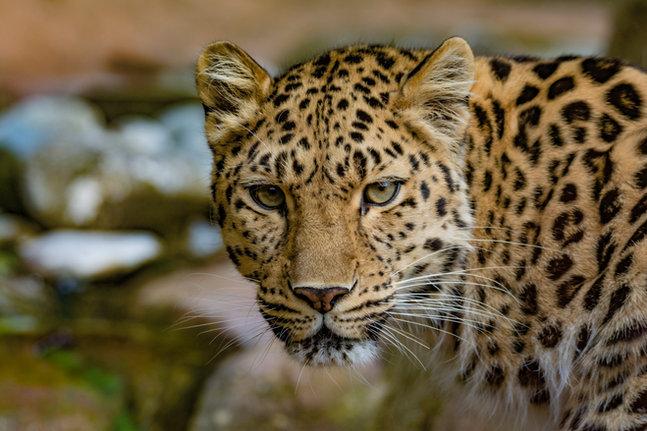 Female Amur Leopard (Panthera pardus orientalis)