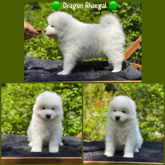 Dragon Rhaegal Winter Is Coming from Poland FCI