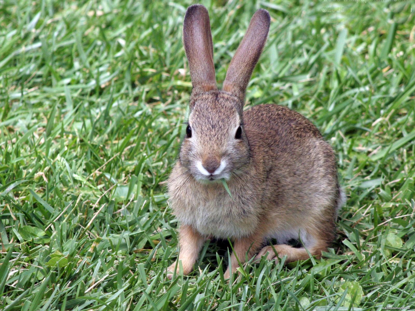 Кролик Советская шиншилла