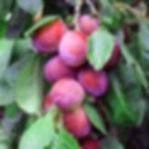 plums on vine #1.jpg