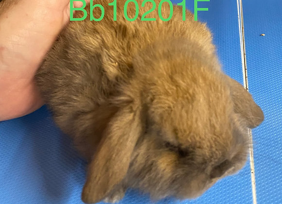 Holland Lop DEPOSIT ONLY