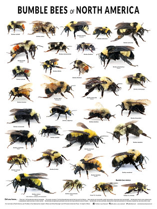"""Bumble bees of North America Poster (18"""" x 24"""")"""