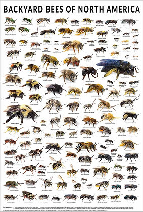 Backyard Bees of North America Poster