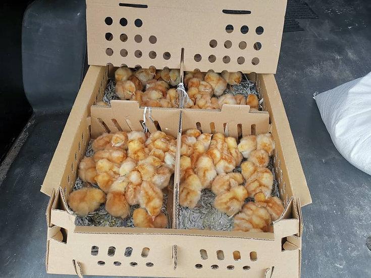 Rural Backyard Poultry (Chicken)