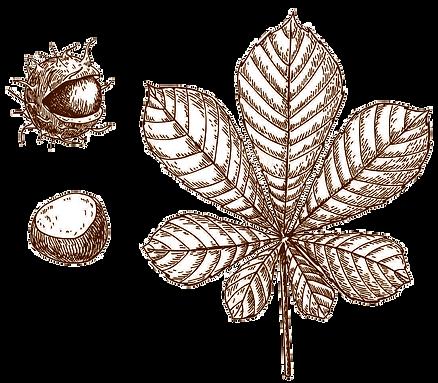 castaño-indias-sipia.png