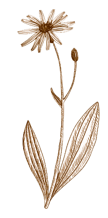 arnica-sipia2.png