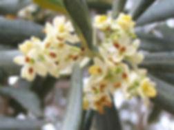 Olive tree flowers.JPG