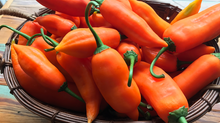 Tropical Foodways, The Pepper Chronicles: Aji Amarillo