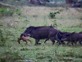 Why We Serve Louisiana Wild Boar