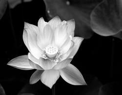 Lotus Balboa Park.jpg